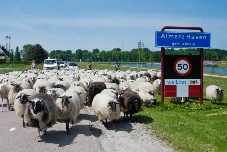 Foto: Schaapskudde Almere